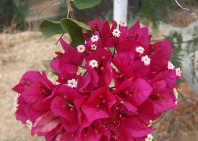 Native_Bouganvillea