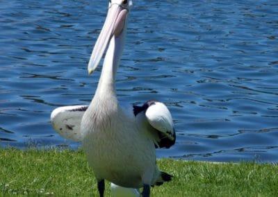 pelican-opt